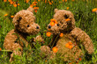 teddybear couple in field of orange flowers