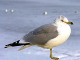 seagull on a frozen bay. poster