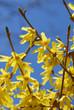 forsythia flower blue sky
