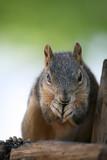 squirrel closeup poster