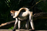 monkey with long tail poster