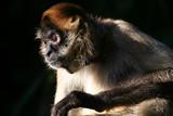 monkey staring poster