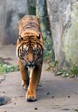 beautiful tiger poster