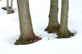 tree trunks in winter poster