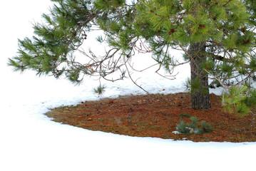 under winter pine