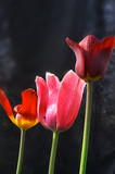 three different tulip flowers poster
