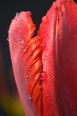 tulip flower with water drops