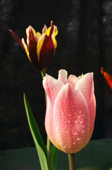 different tulip flowers