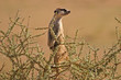 canvas print picture suricate
