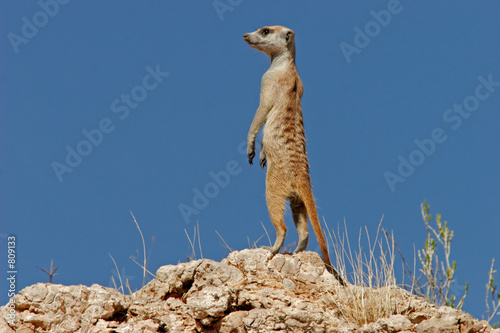 canvas print picture suricate family
