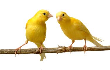 canario escuchando a otro
