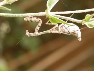mantis..praying
