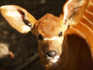 nosey antelope