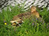 breeding duck poster