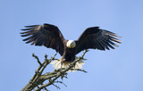 bald eagle landing poster
