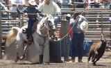 cowboy roping a calf poster