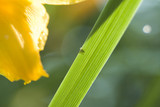 spider shadow on stella de oro lilly leaf poster