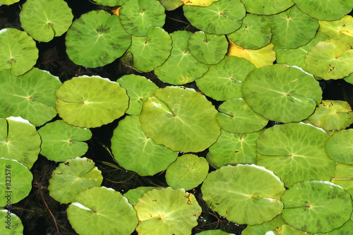 poster of lily pad