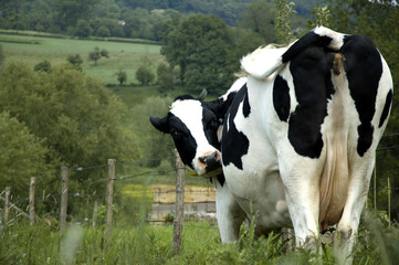 cow in the dutch mountains