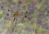golden dragonfly resting on the dry blade poster