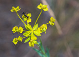 black ant on yellow star-like flower poster