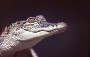 baby aligator