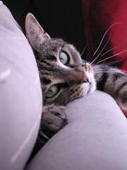 cat making eye contact