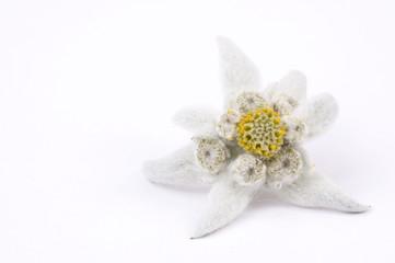 white flower. edelweiss