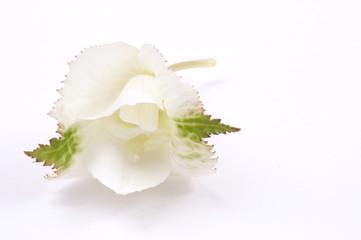 white flower - begonias
