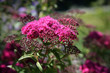 pink yarrow flowers