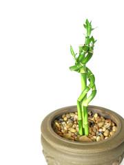 bamboo stalks in earthen pot