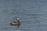 pelican resting in water poster