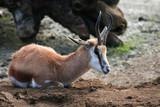 antelope laying poster
