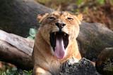 lion tongue poster
