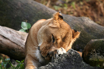 lion tired