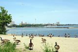 canada geese on toronto beach poster