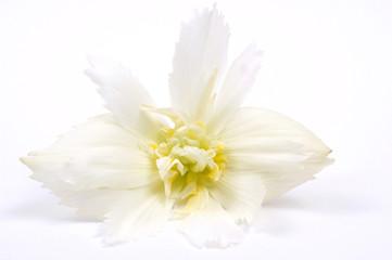 white & begonia