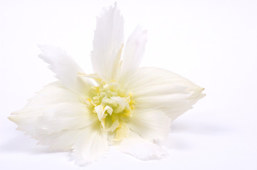 white flower. begonia