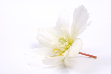 white petals. begonia