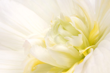 twirl. begonia