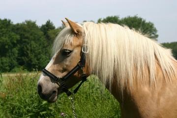haflinger pony