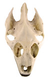turtle skull-clipping path poster