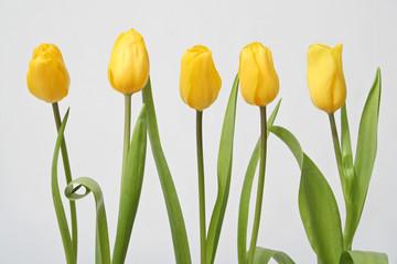 row tulip