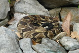 wild yellow headed rattlesnake