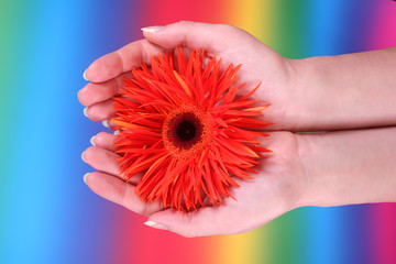 hands holding an orange gerbera