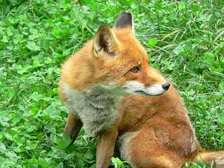 craquant renard des pyrénées