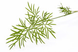 green early dill. macro poster