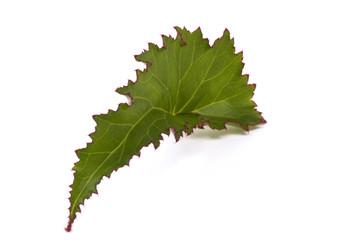 begonia. leaf. houseplant