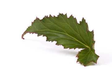 isolated. leaf. begonia