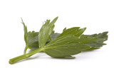 loveage leaf. herbs poster